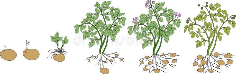 Ciclo de crescimento vegetal da batata ilustração stock