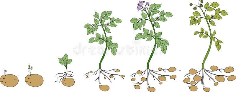 Ciclo de crescimento vegetal da batata ilustração royalty free