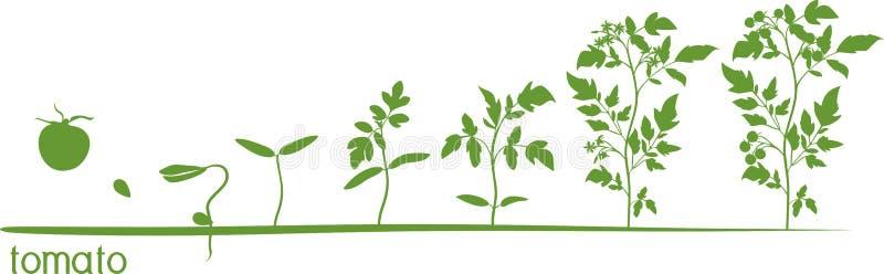 Ciclo de crescimento vegetal do tomate com as silhuetas das plantas ilustração royalty free