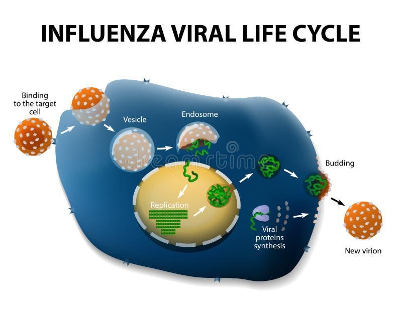Ciclo de la réplica del virus de gripe stock de ilustración