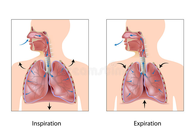 Ciclo de la respiración ilustración del vector