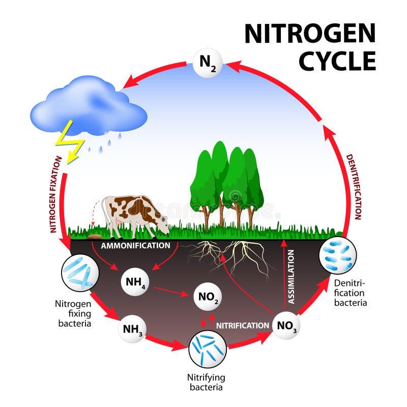 Ciclo de nitrógeno stock de ilustración