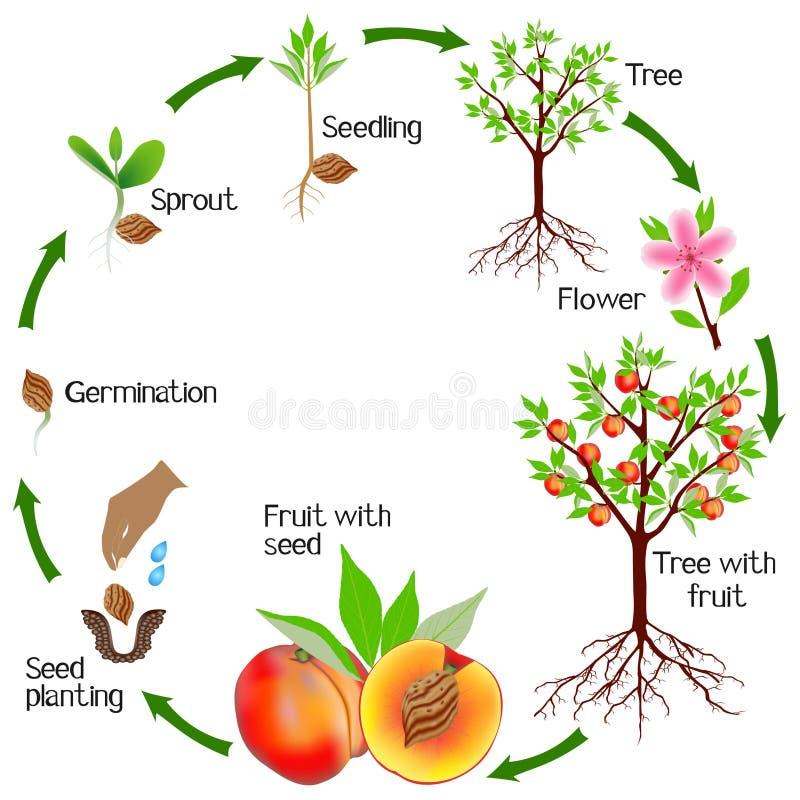 Ciclo de um crescimento vegetal do pêssego isolado no fundo branco ilustração stock