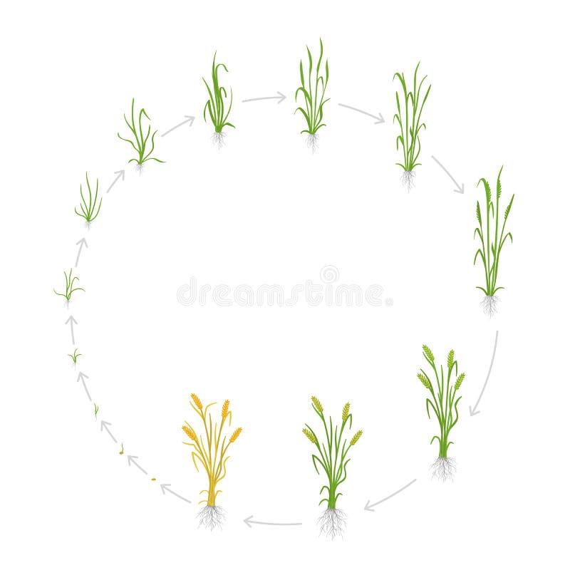 Ciclo de vida circular da grão do centeio Fases do crescimento da planta de Rye Fases do aumento do cereal Ilustração do vetor Se ilustração stock