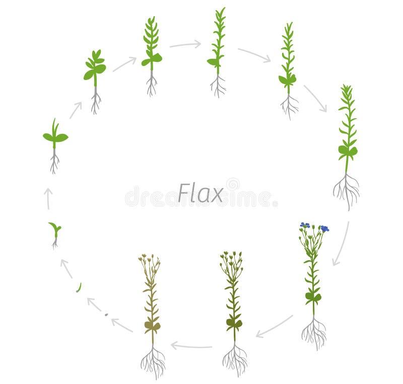 Ciclo de vida circular da ilustração redonda do vetor das fases do crescimento do usitatissimum de Linum do linho ilustração stock