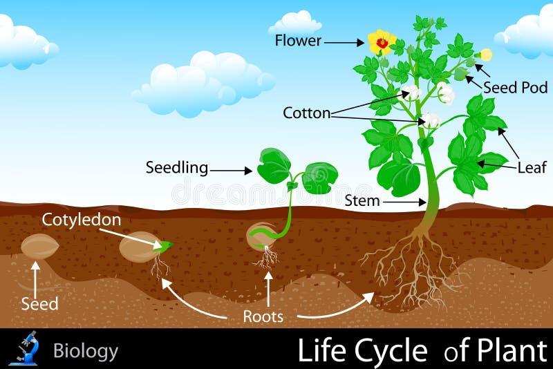 Ciclo de vida da planta ilustração royalty free