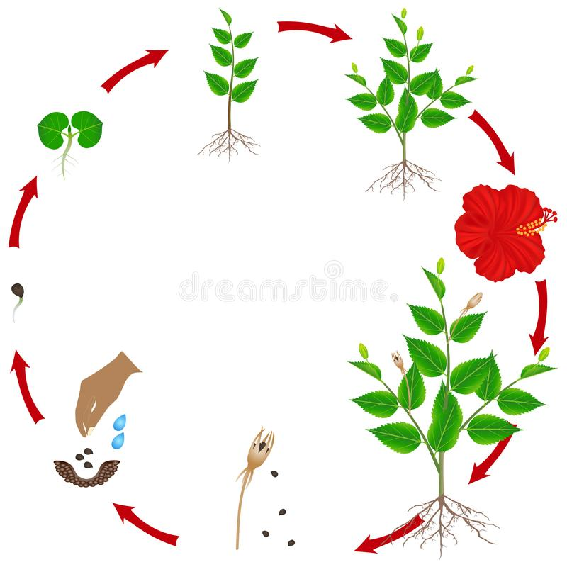 Ciclo de vida da planta do hibiscus em um fundo branco ilustração stock