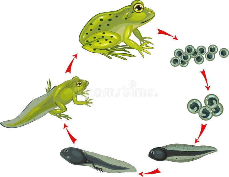 Ciclo de vida de la rana stock de ilustración