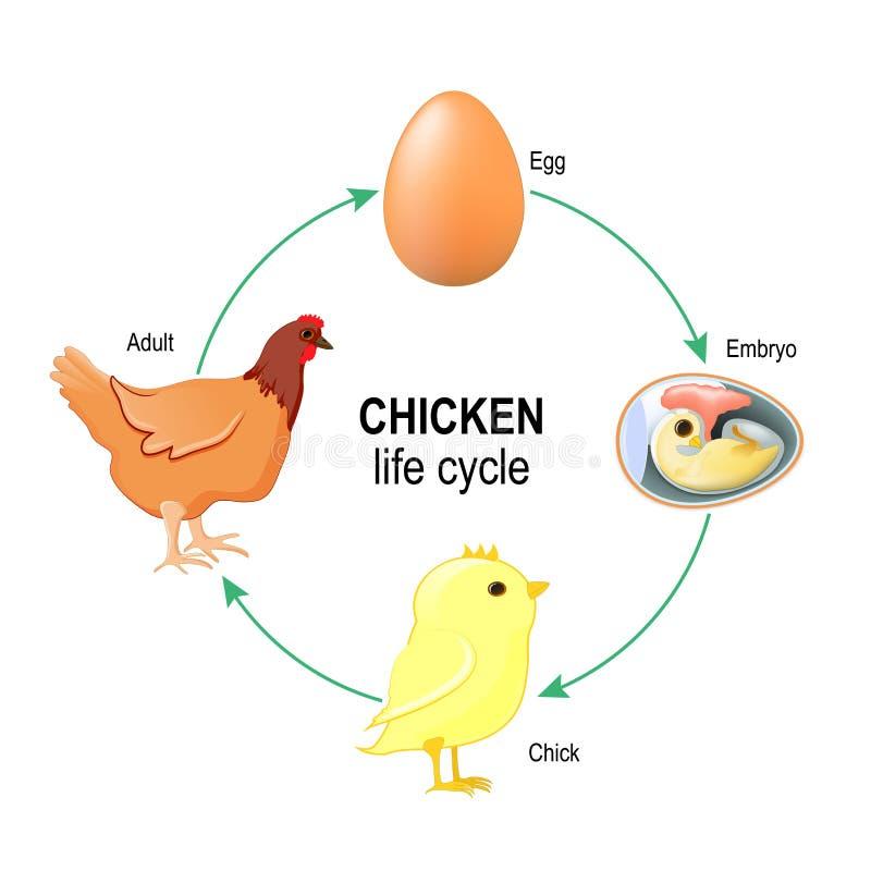 Ciclo de vida de uma galinha ilustração royalty free