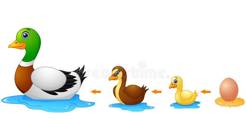 Ciclo de vida de un pato ilustración del vector. Ilustración de ...