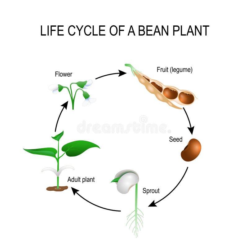 Ciclo de vida de una planta de haba stock de ilustración