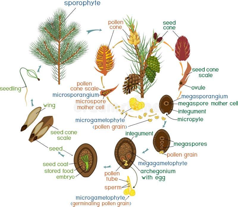 Ciclo de vida del árbol de pino: reproducción de gimnospermas con títulos ilustración del vector