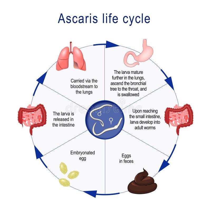 Ciclo de vida del ascaris stock de ilustración