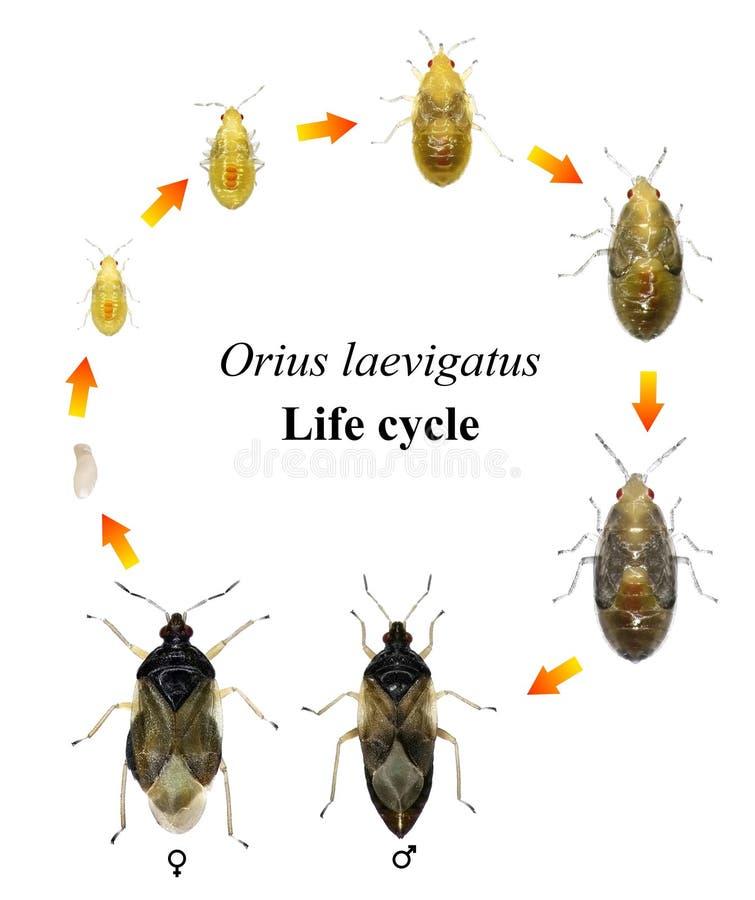 Ciclo de vida del insecto imagen de archivo