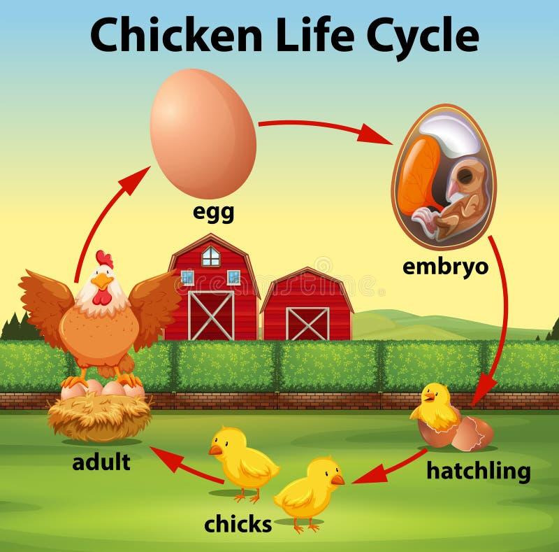 Ciclo de vida del pollo de la ciencia ilustración del vector