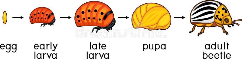 Ciclo de vida do besouro de batata de Colorado ou do decemlineata do Leptinotarsa Fases do desenvolvimento do ovo ao inseto adult ilustração do vetor