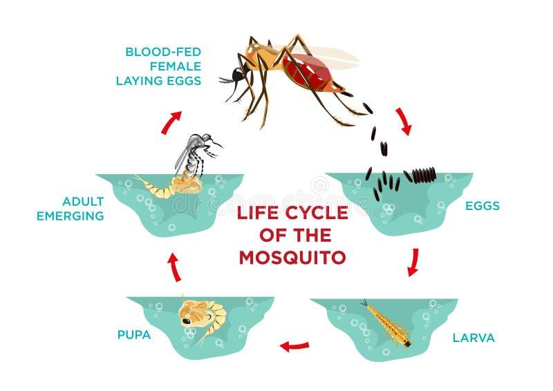Ciclo de vida do mosquito ilustração do vetor