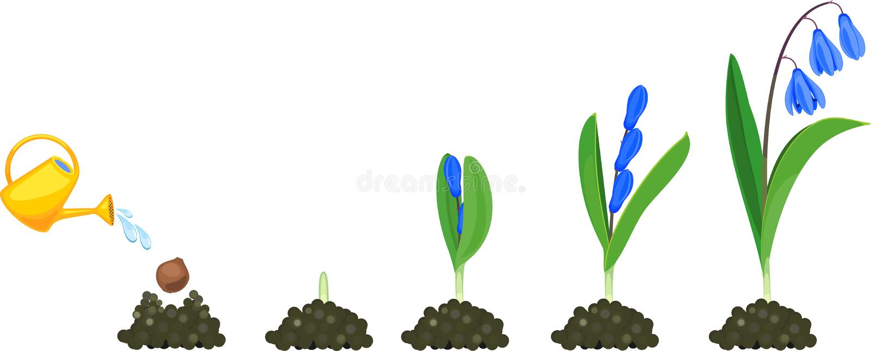 Ciclo de vida do squill ou do siberica Siberian de Scilla Fases do crescimento de plantar o bulbo à planta de florescência com fo ilustração royalty free