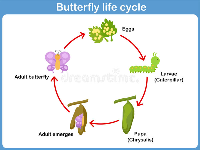 Ciclo de vida do vetor de uma borboleta para crianças ilustração do vetor