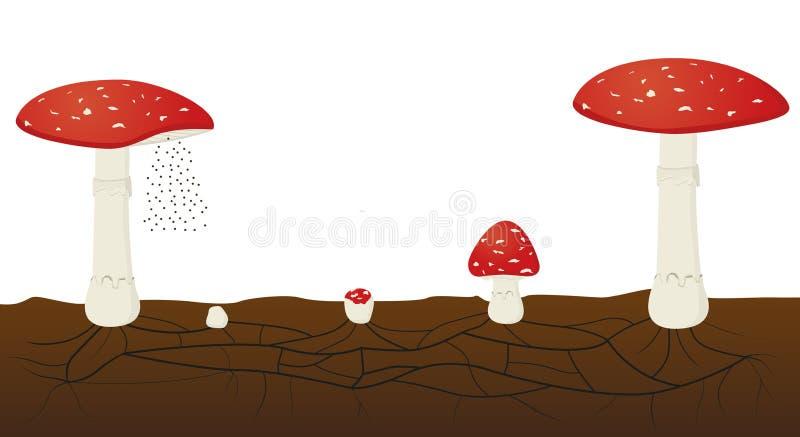 Ciclo de vida fungoso aislado en el fondo blanco Muscaria de la amanita libre illustration