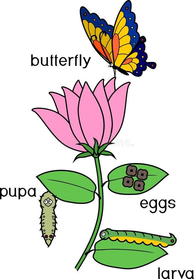 Ciclo de vida de la mariposa en la flor Termine la metamorfosis holometabolous ilustración del vector