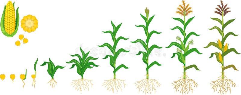 Ciclo de vida de la planta del maíz del maíz Etapas del crecimiento del sembrador al plant?n floreciente y de frutal aislado en e ilustración del vector
