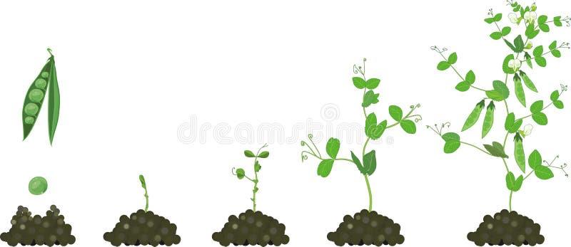 Ciclo de vida de la planta de guisante Etapas del crecimiento del guisante de la semilla a la planta adulta con las frutas libre illustration