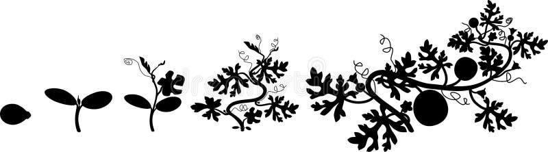 Ciclo de vida de la planta de la sandía ilustración del vector