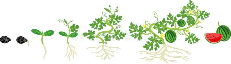 Ciclo de vida de la planta de la sandía Etapas del crecimiento de la sandía de la semilla a la cosecha libre illustration