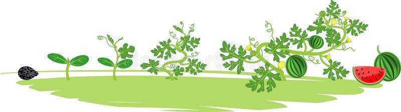 Ciclo de vida de la planta de la sandía Etapas del crecimiento de la sandía de la semilla a la cosecha stock de ilustración