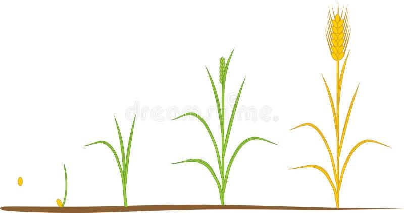 Ciclo de vida de Rye stock de ilustración