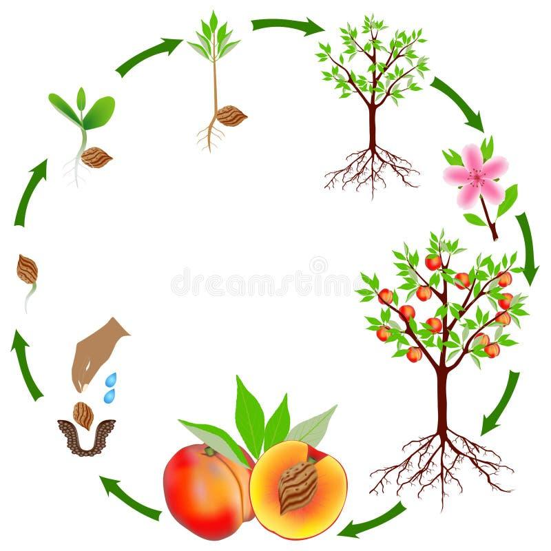 Ciclo de vida de uma planta do pêssego em um fundo branco ilustração do vetor