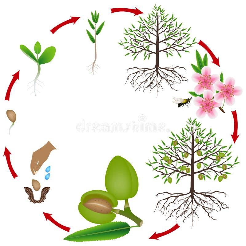 Ciclo de vida de un árbol de almendra en un fondo blanco stock de ilustración