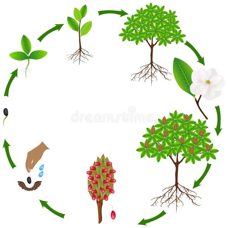 Ciclo de vida de una planta grandiflora de la magnolia en un fondo blanco libre illustration