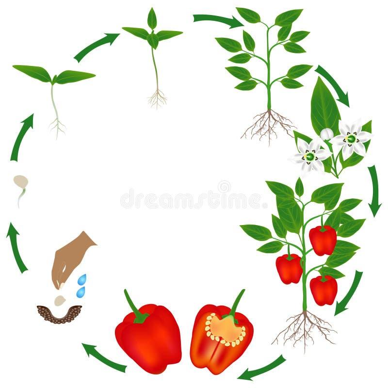 Ciclo de vida de una planta de la pimienta roja en un fondo blanco stock de ilustración