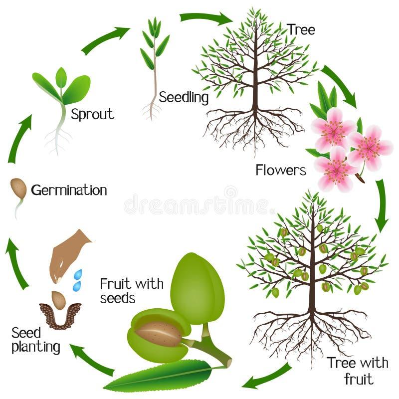 Ciclo del crecimiento del árbol de almendra en un fondo blanco libre illustration
