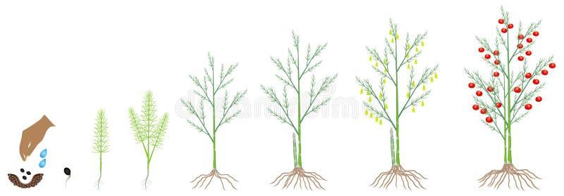 Ciclo del crecimiento de una planta del espárrago en un fondo blanco ilustración del vector