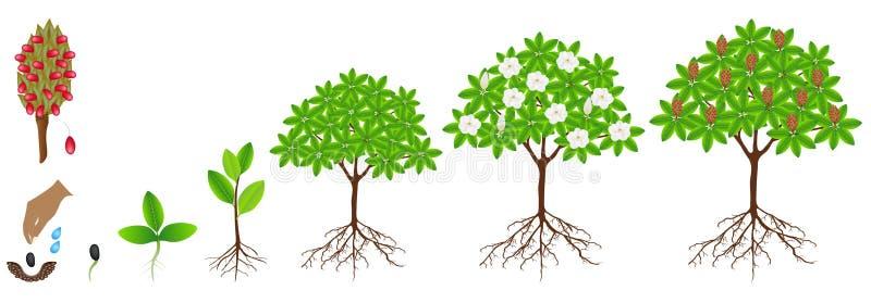 Ciclo del crecimiento de una planta grandiflora de la magnolia en un fondo blanco libre illustration