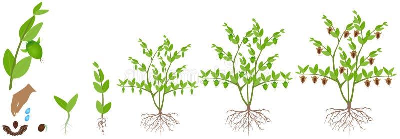 Ciclo del crecimiento de una planta de la jojoba en un fondo blanco stock de ilustración