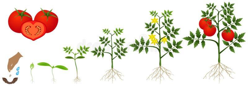 Ciclo del crecimiento de una planta de tomate aislada en un fondo blanco stock de ilustración