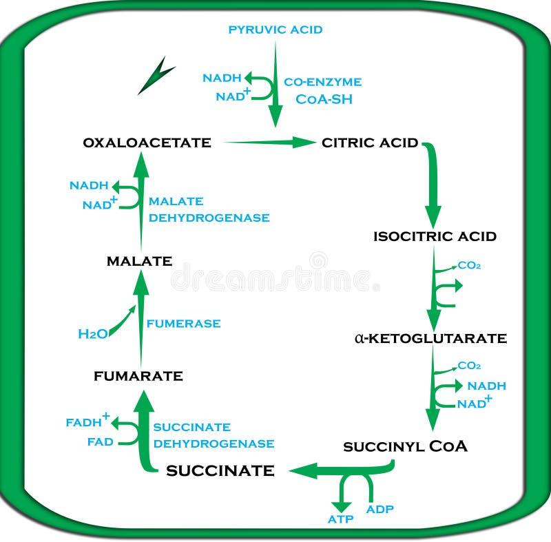 Ciclo dell'acido citrico del ciclo di Krebs ai punti facili royalty illustrazione gratis