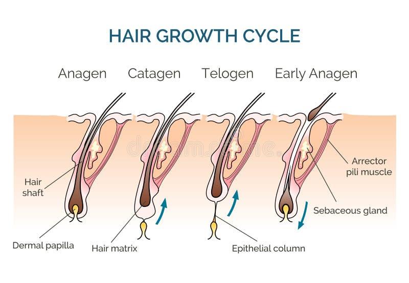 Ciclo di crescita dei capelli illustrazione di stock