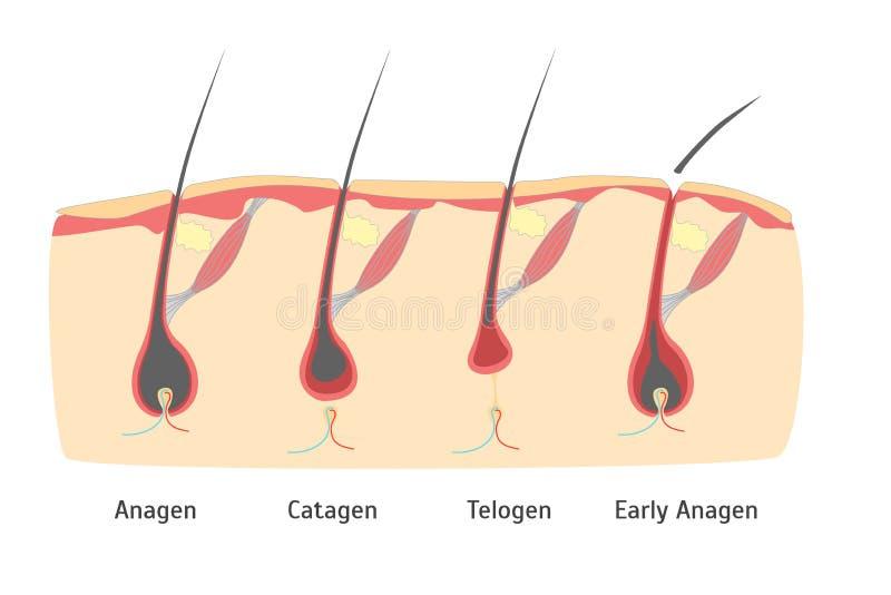 Ciclo di crescita dei capelli della testa umana nel taglio Vettore illustrazione vettoriale