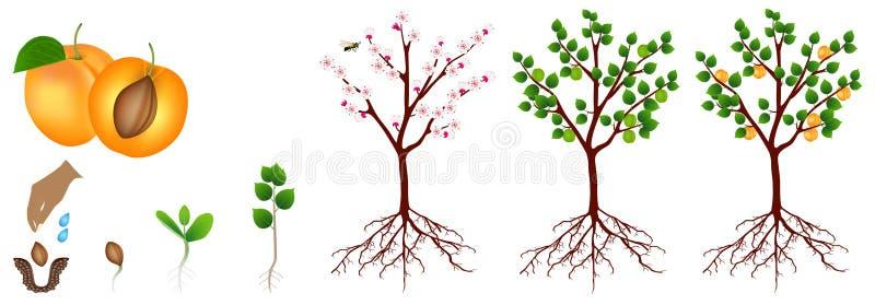 Ciclo di crescita della pianta dell'albicocca isolata su fondo bianco illustrazione di stock
