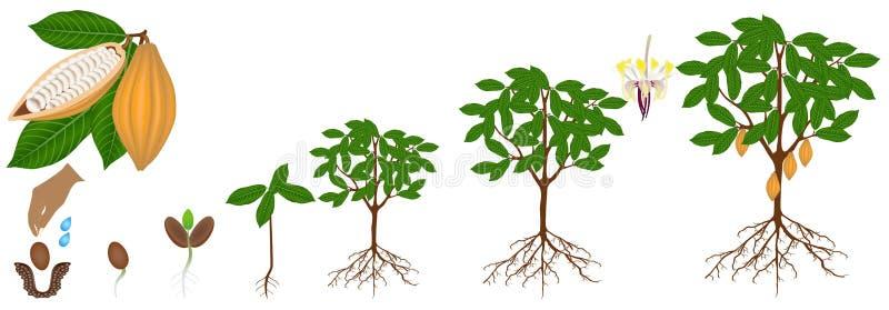 Ciclo di crescita di una pianta del cacao isolata su un fondo bianco illustrazione di stock