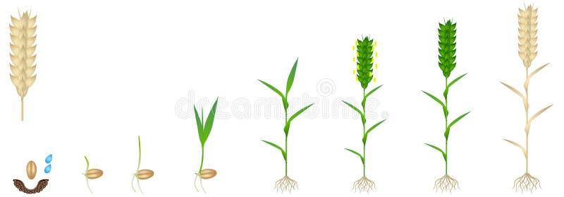 Ciclo di crescita di una pianta del grano su un fondo bianco illustrazione di stock