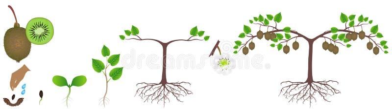 Ciclo di crescita di una pianta del kiwi su un fondo bianco illustrazione vettoriale