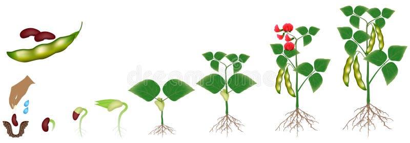 Ciclo di crescita di una pianta di fagiolo isolata su un fondo bianco illustrazione di stock