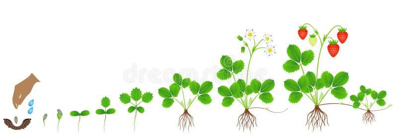 Ciclo di crescita di una pianta di fragola su un fondo bianco illustrazione vettoriale