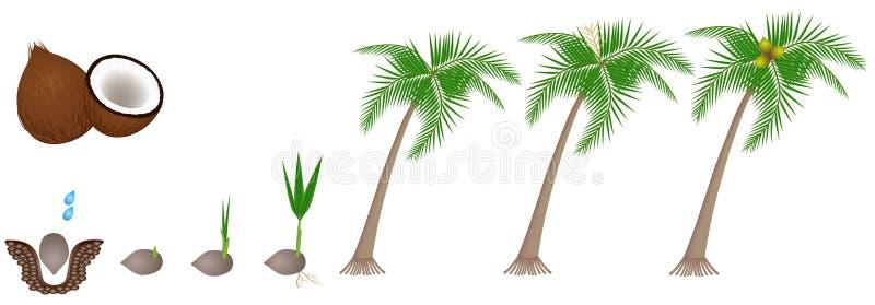 Ciclo di crescita di una pianta di una noce di cocco isolata su un fondo bianco illustrazione di stock